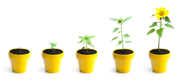 Series of images showing the progression of a dwarf sunflower from seedling to blooming. Isolated on white.