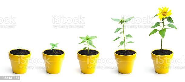 Sunflower growth picture id155431151?b=1&k=6&m=155431151&s=612x612&h=6pwa 3pqvqdv 3dskjgxut5dfwawjsn6eygiumz0yko=