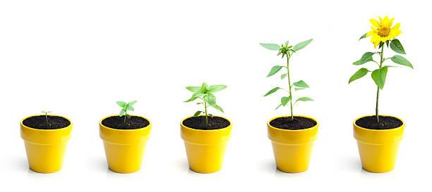 Sunflower growth picture id155431151?b=1&k=6&m=155431151&s=612x612&w=0&h=ftbprv41xovjqai2aibkn9qr5n g6q9fpzq0 jitn6m=