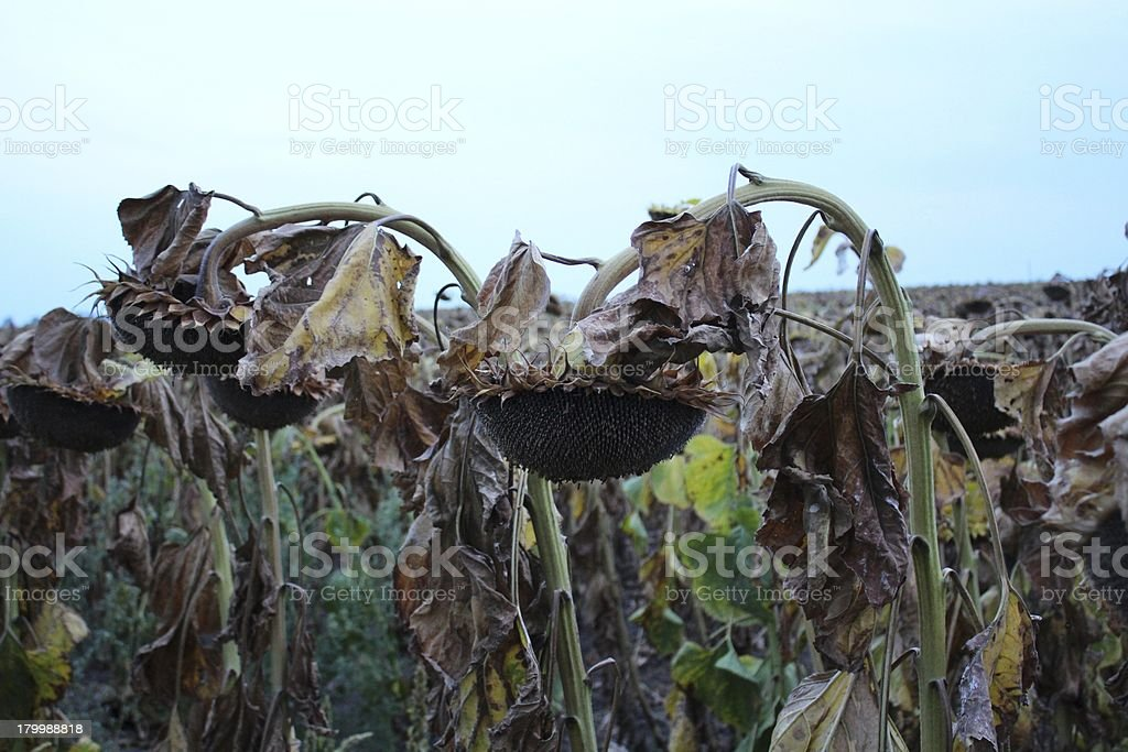 Sunflower harvest by evening royalty-free stock photo