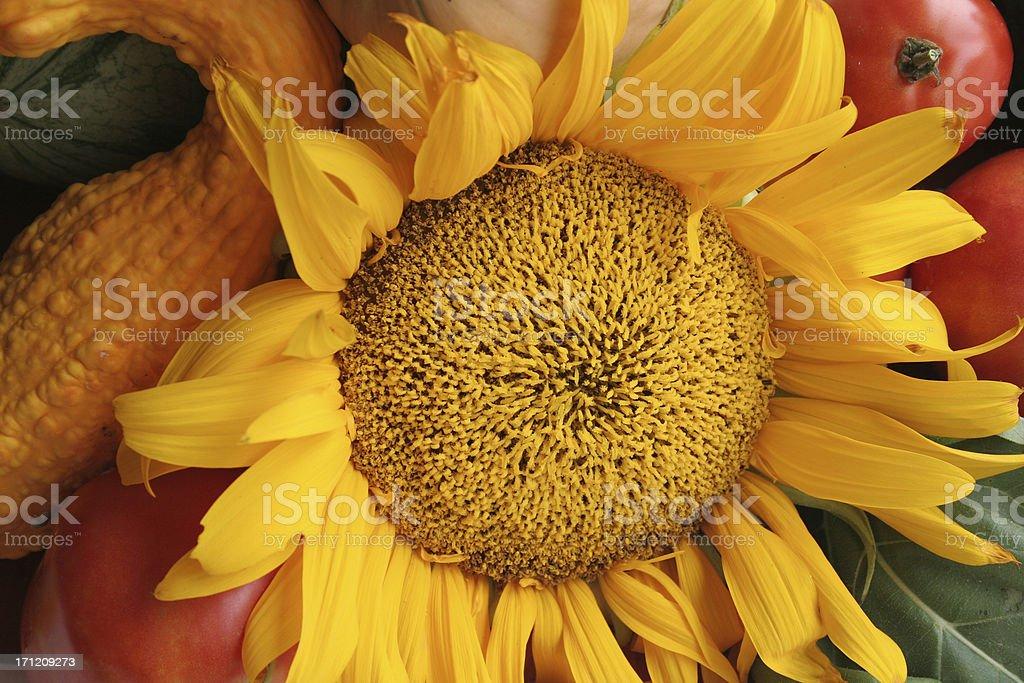 sunflower harvest royalty-free stock photo