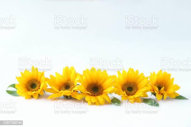 Sunflower headerfooter picture id1237700744?b=1&k=6&m=1237700744&s=612x612&h=kifge4uzvplx91y6r6m96hkekeydxj7ztsd buxlpr0=