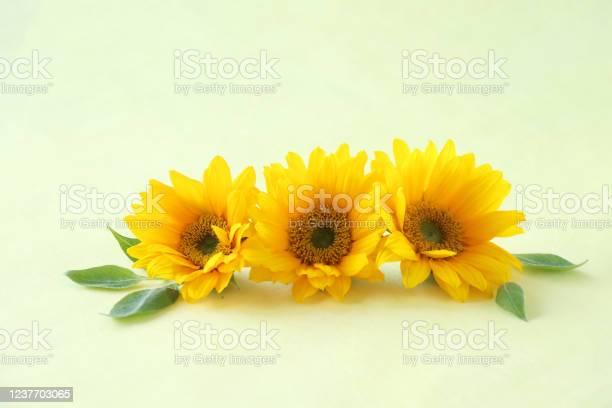 Sunflower headerfooter picture id1237703065?b=1&k=6&m=1237703065&s=612x612&h=usn r3wm5u7o1b33onu4uxjp8mnwktks6twqt4xcxwa=