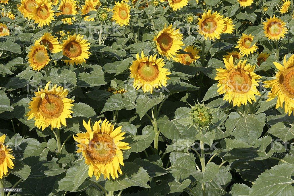 Sunflower heads royalty-free stock photo