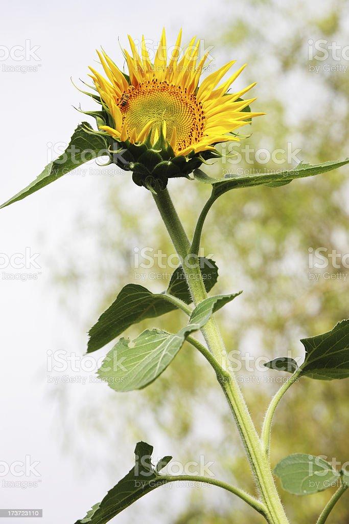 Sunflower Helianthus annuus Flower Blossom royalty-free stock photo