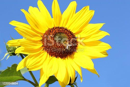 Sonnenblume mit einer Honigbiene