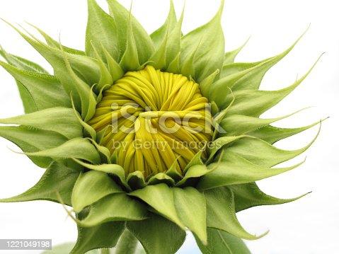 Geschlossene Sonnenblume im Garten