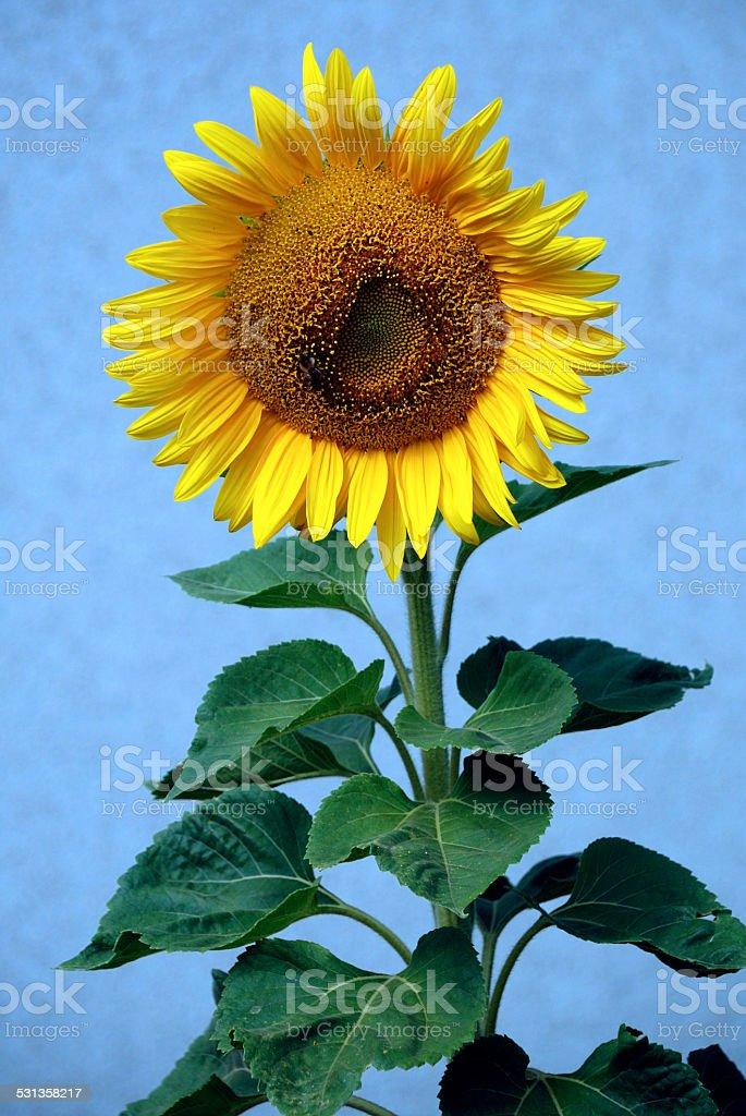 Sunflower - Helianthus annuus stock photo