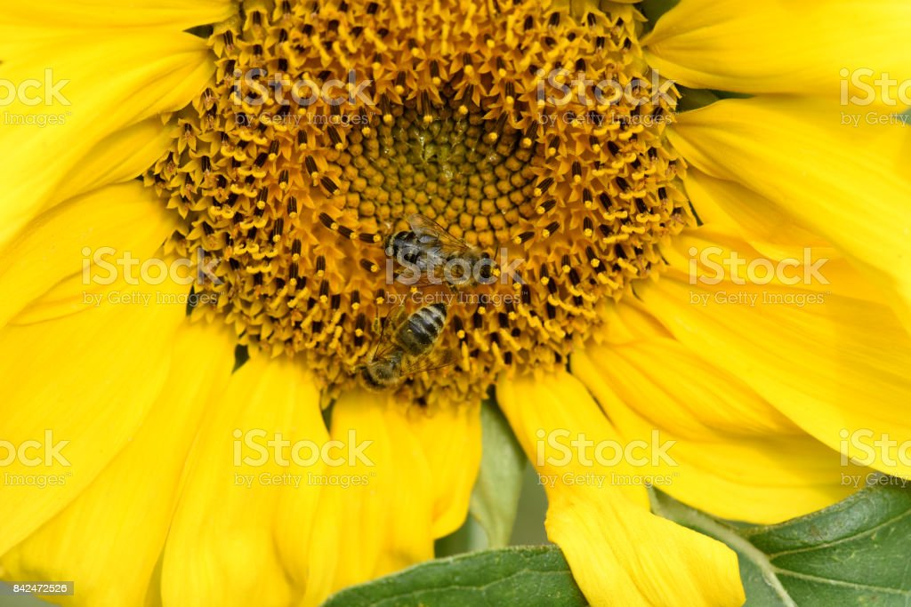 Sunflower; Helianthus; annuus stock photo