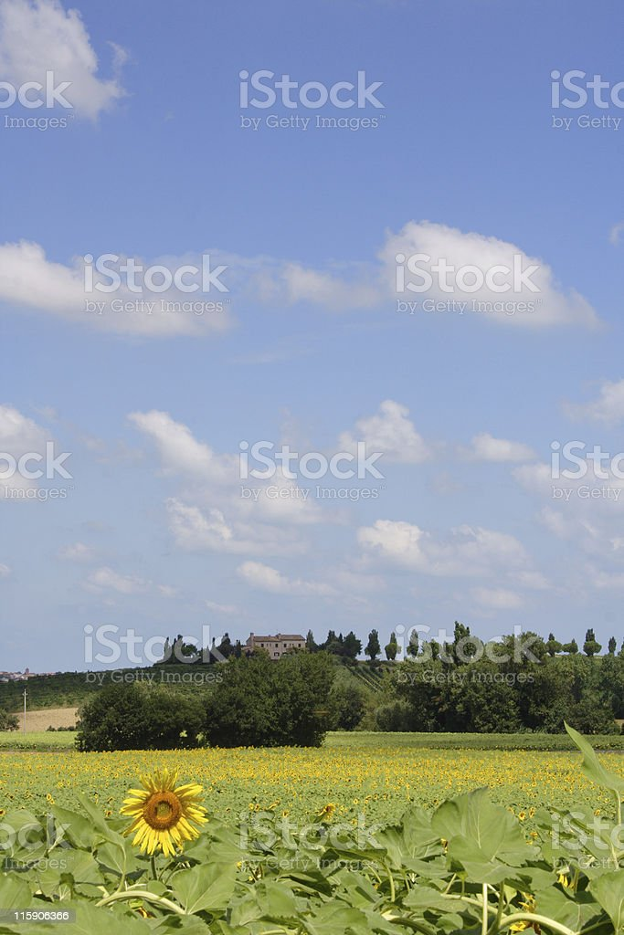 Sunflower Hill royalty-free stock photo