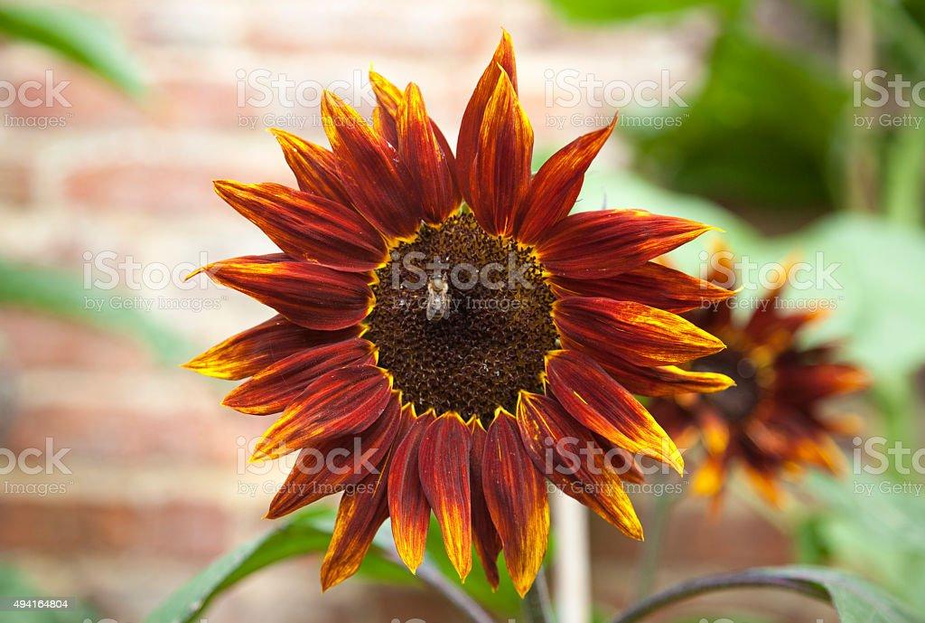 Sunflower Honey Bee stock photo