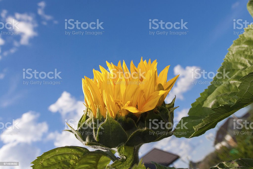 sunflower in a blue sky background royalty-free stock photo