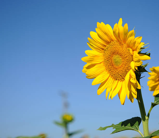 Sunflower in a sunny day stock photo