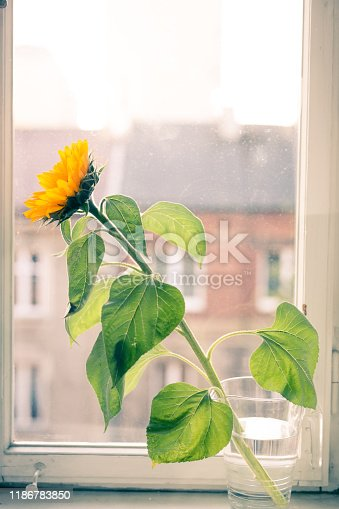 A sunflower in a vase stands by the window. Krakow in Poland.