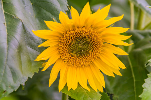 Sunflower in bloom stock photo