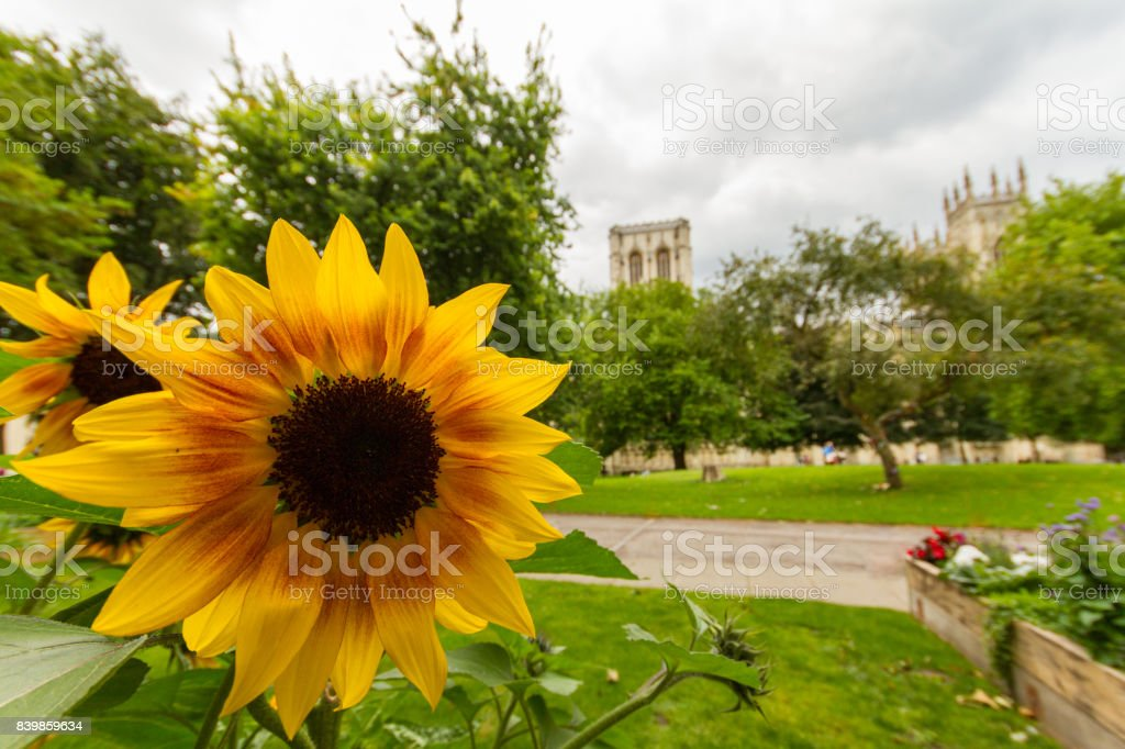 Sunflower in Dean's Park, York with York Minster in background stock photo