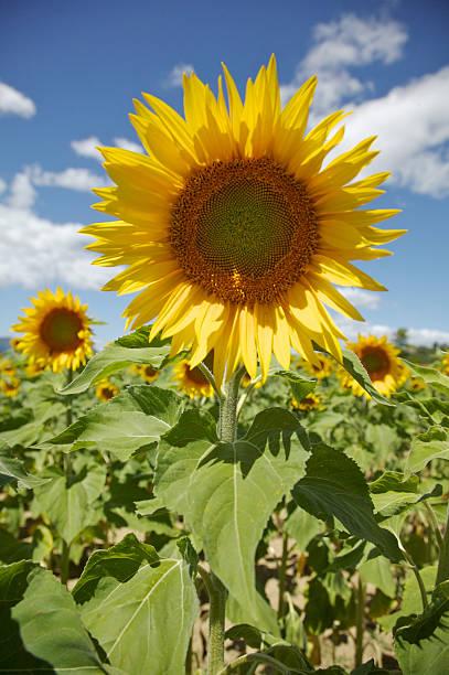 Sunflower In Farm Field stock photo