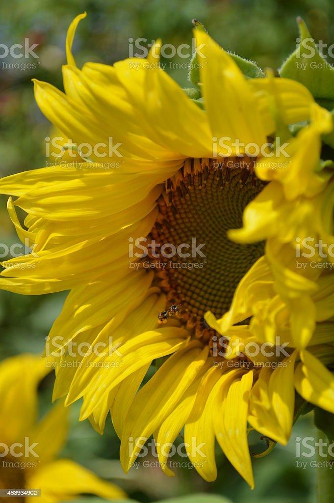 Sunflower in Field stock photo