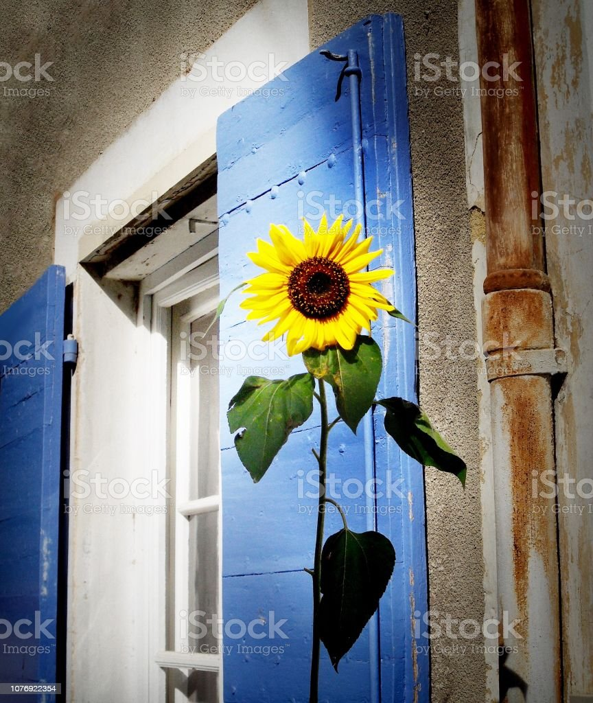 Sunflower in front of on a blue shutters stock photo