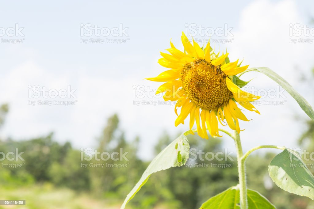 Sunflower in full bloom. foto stock royalty-free