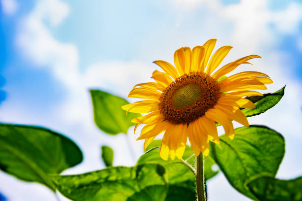 Sunflower in full bloom with blue sky Sunflower in full bloom with blue sky satoyama scenery stock pictures, royalty-free photos & images