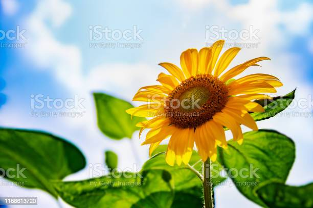 Photo of Sunflower in full bloom with blue sky