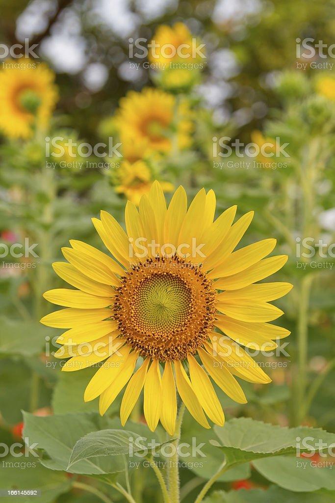Sunflower In Garden royalty-free stock photo