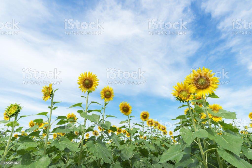 Sunflower in garden with sky background. Sunflower garden during the daytime with sun light. stock photo