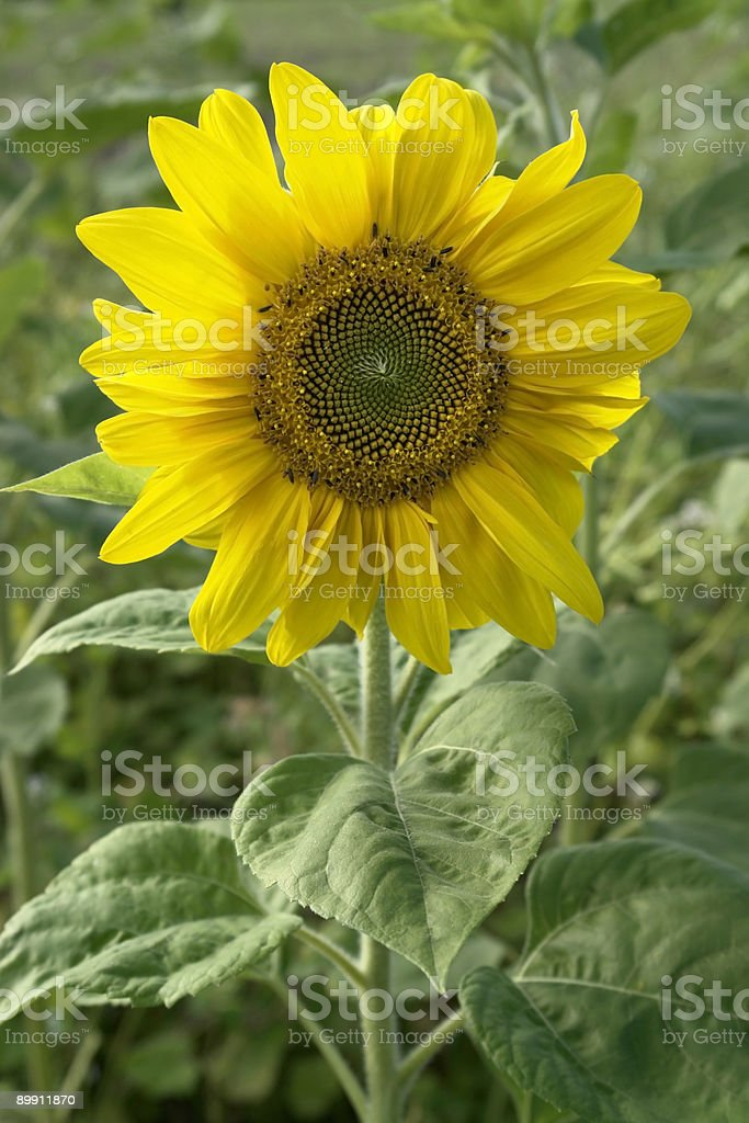 sunflower in green leavy back royalty-free stock photo