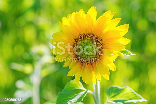 Beautiful landscape. Sunflower in nature on field in sunny summer day. Sunflower nature background wiht copy space.