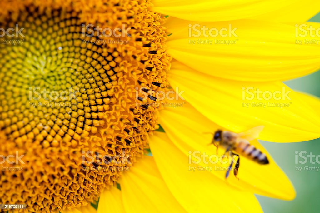 Sunflower in nature stock photo