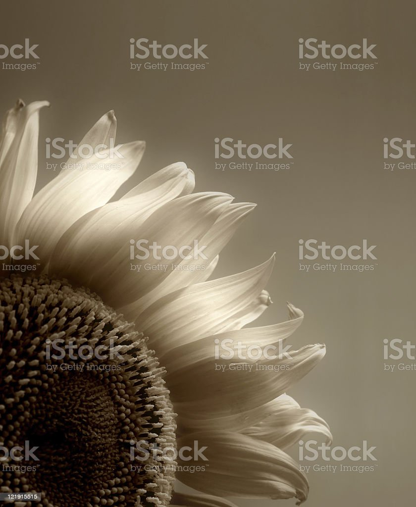 Sunflower in sepia stock photo