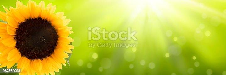 istock sunflower in sunshine banner 987365098