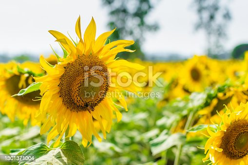 Beautiful sunflower agricultural field in the afternoon time.