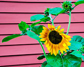 A bright yellow sunflower blooms outside a red barn in northern Vermont