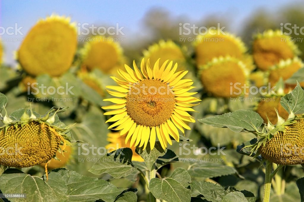 sunflower in the middle of picture stock photo
