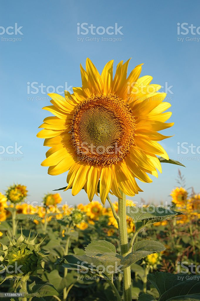 Sunflower in the sun royalty-free stock photo