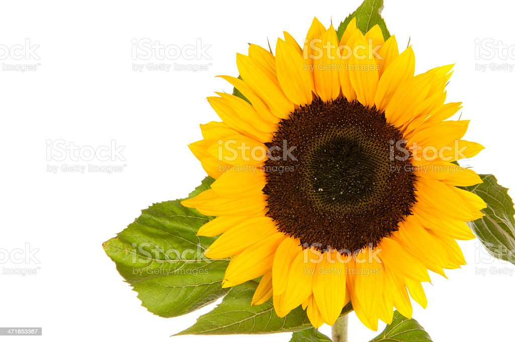 Sunflower isolated in white royalty-free stock photo