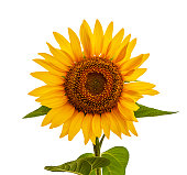 Sunflower, isolated on the white. Yellow seed oil flower