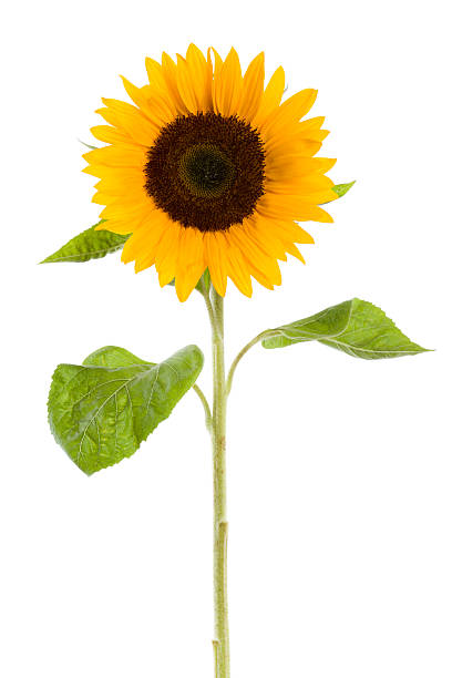 sunflower isolated on white - sunflower stok fotoğraflar ve resimler