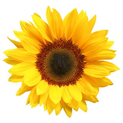 Sunflower isolated, white background,