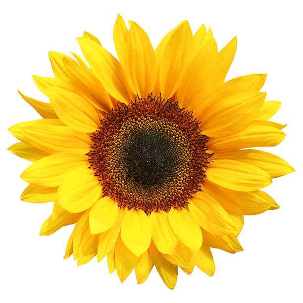 Sunflower isolated picture id174648035?b=1&k=6&m=174648035&s=612x612&w=0&h=5mhvpotqkjuo 9fafro0902yzwbsuzktdouinmfhcig=