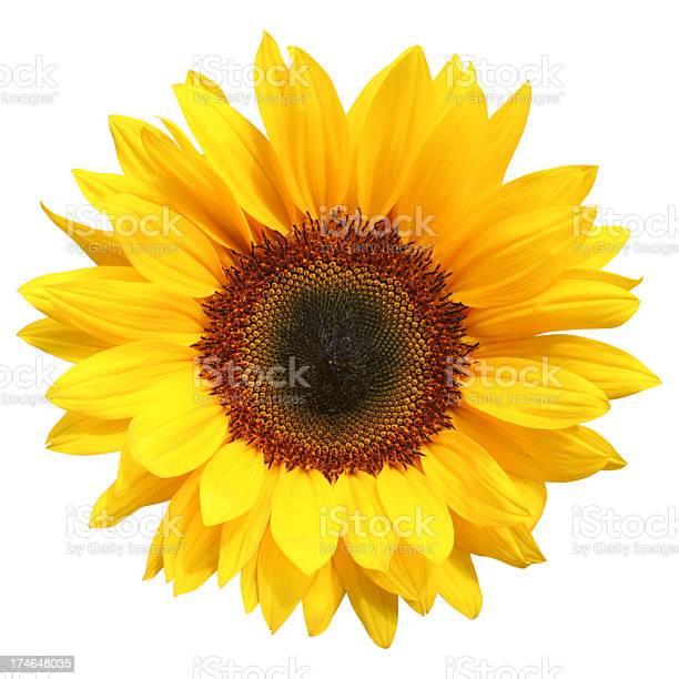 Photo of Sunflower Isolated