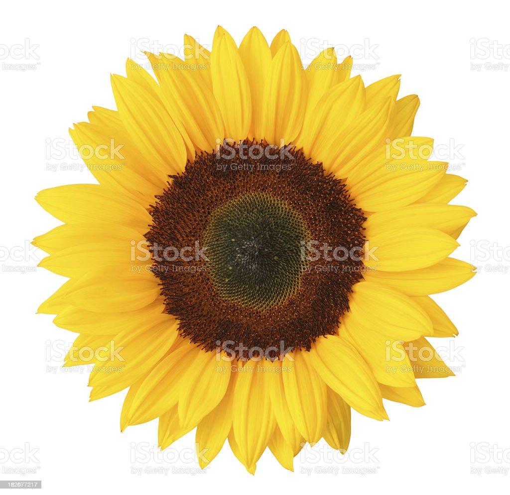 Sunflower Isolated royalty-free stock photo