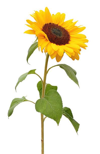 sonnenblume isoliert - sonnenblume stock-fotos und bilder