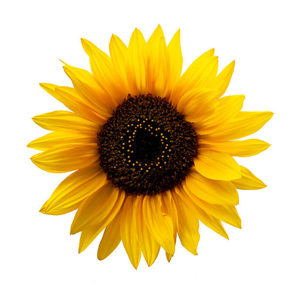Royalty free sunflower pictures images and stock photos istock sunflower isolated stock photo mightylinksfo