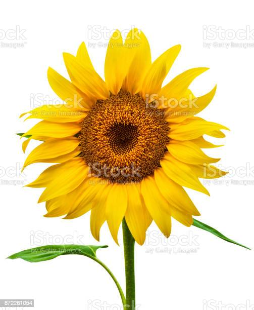 Sunflower isolated picture id872261054?b=1&k=6&m=872261054&s=612x612&h=opddftschfu2d0hiama9wy5ny8bokpblc3vpms8ngrm=