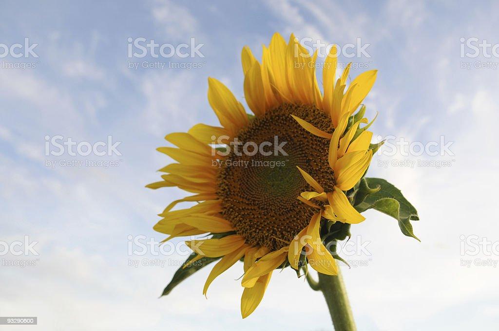 Sunflower, Kenya stock photo