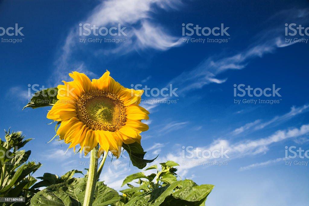 Sunflower Landscape royalty-free stock photo