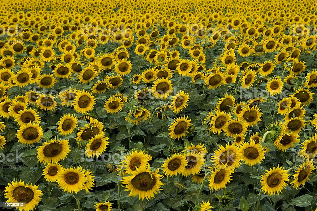 Sunflower  Landscape royalty-free stock photo